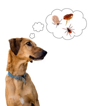 Dog health risk, ticks and flea. Disease carrier, protection.